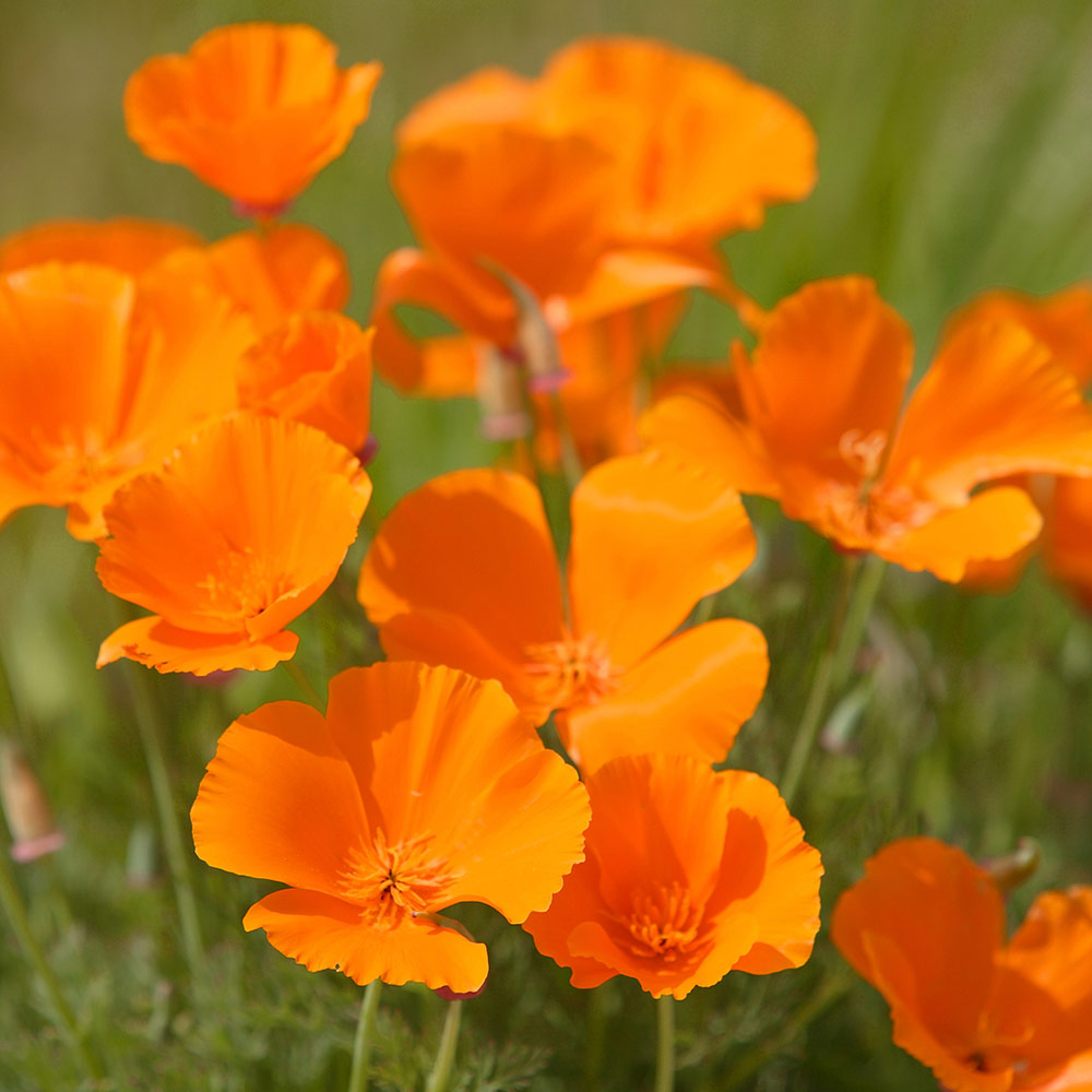 California poppies are easy to grow from seed, making them a great gift for a beginner gardener