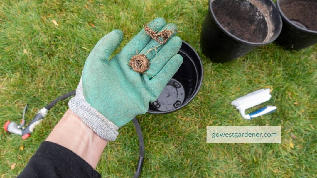 Remove any roots that have grown into the holes at the bottom of your pots
