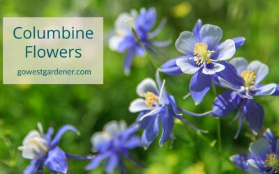 Columbine Flowers: An Early Summer Flower to Attract Hummingbirds