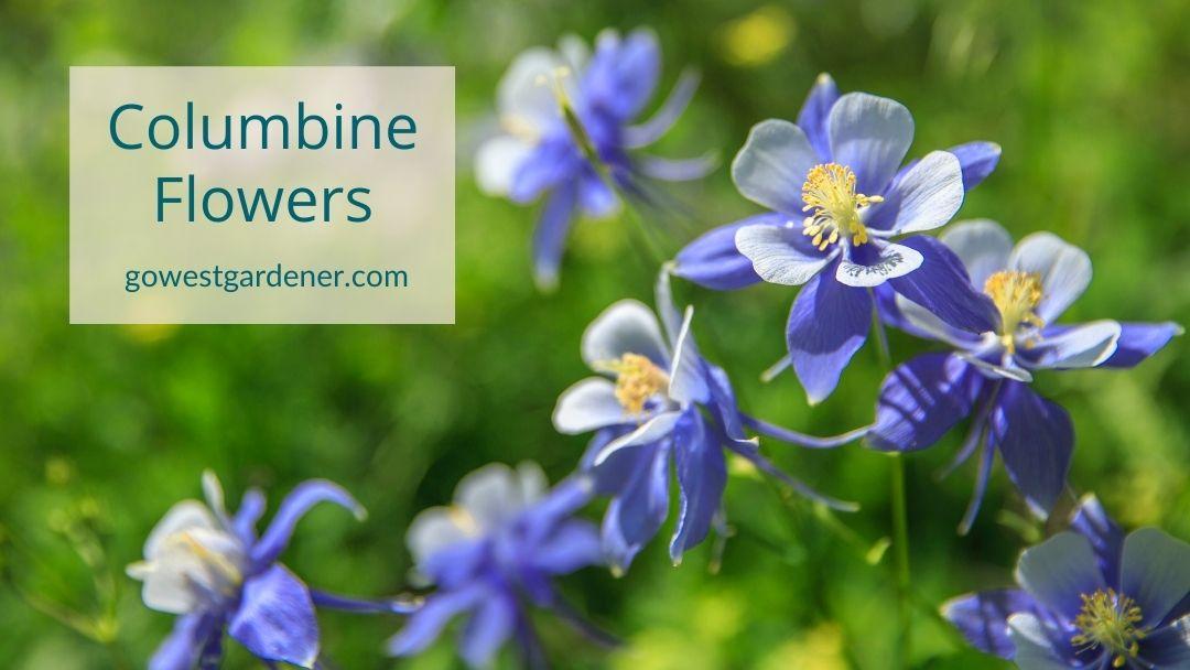 Blue and white columbine flowers (botanical name: Aquilegia)
