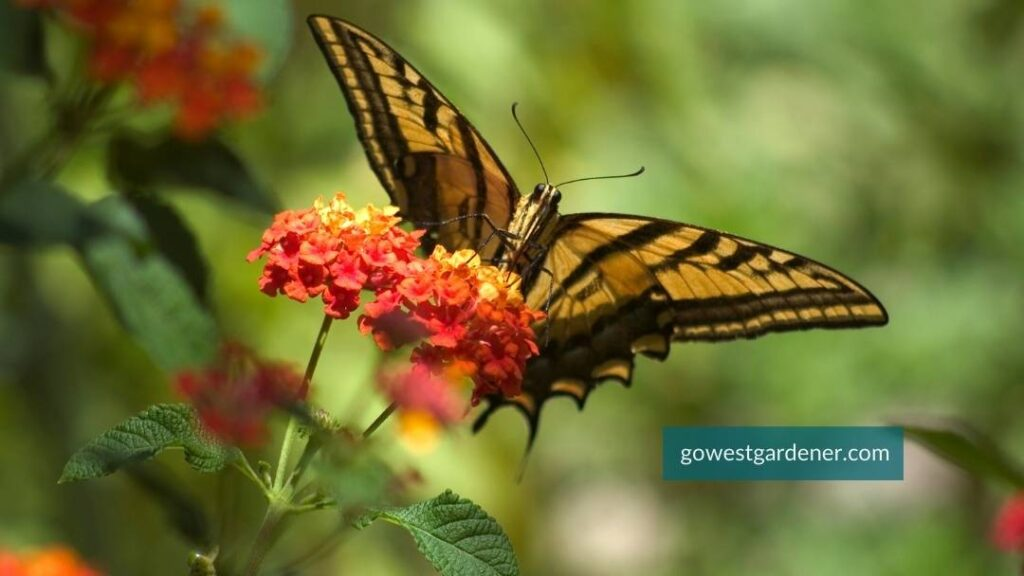 The flower Lantana attracts butterflies to your garden, like this Swallowtail butterfly.