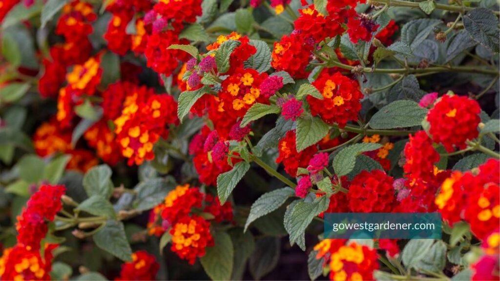 Lantana flowers in fiery red and dark orange.