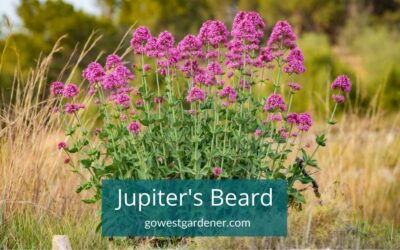 Jupiter's Beard: Long-Blooming Flowers That Come Back Every Year