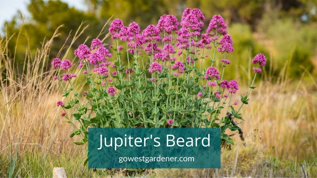 Jupiters Beard 'Pink Valerian' is drought tolerant and one of the best flowers for Colorado and Utah