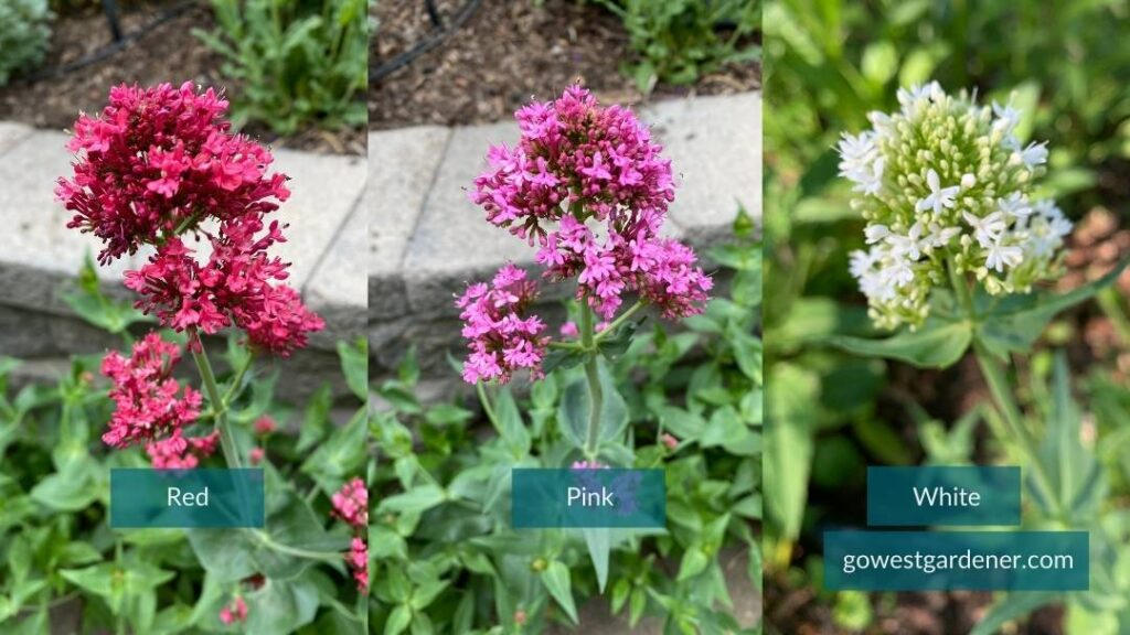 Jupiter's Beard (aka, Centranthus and Red Valerian) comes in red, pink and white colors.