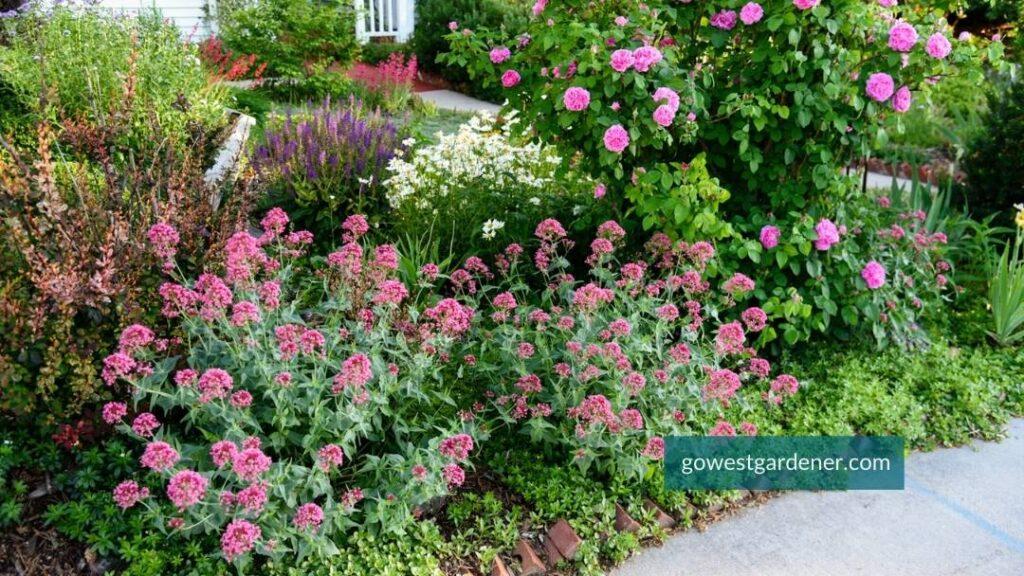 Jupiters Beard is a long-blooming flower for semi-arid gardens