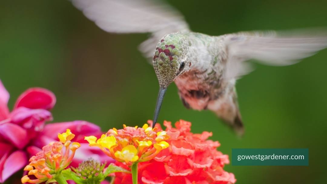 What annuals attract hummingbirds? The flower: Lantana