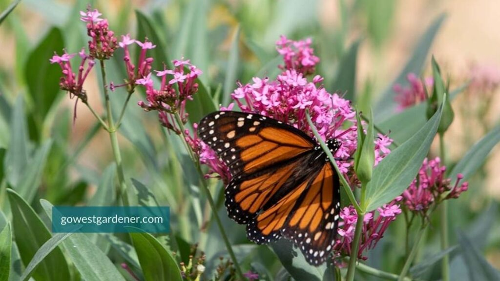 A monarch butterfly on a flower of Jupiters Beard 'Pink Valerian'