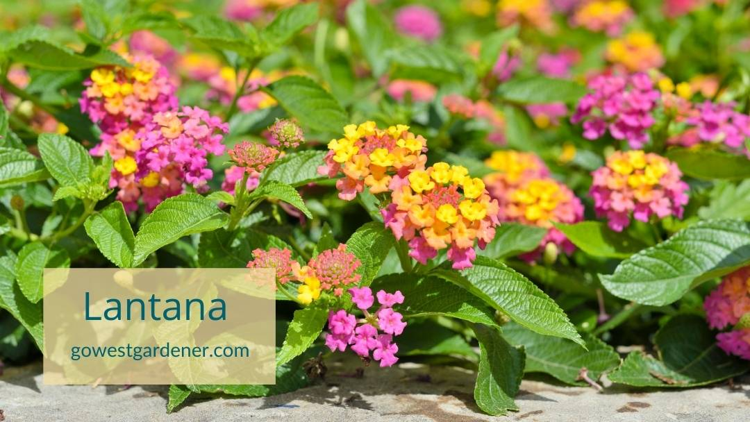Lantana is a heat tolerant annual. Here it is in multicolor, pastel colors: Pink, yellow and orange.