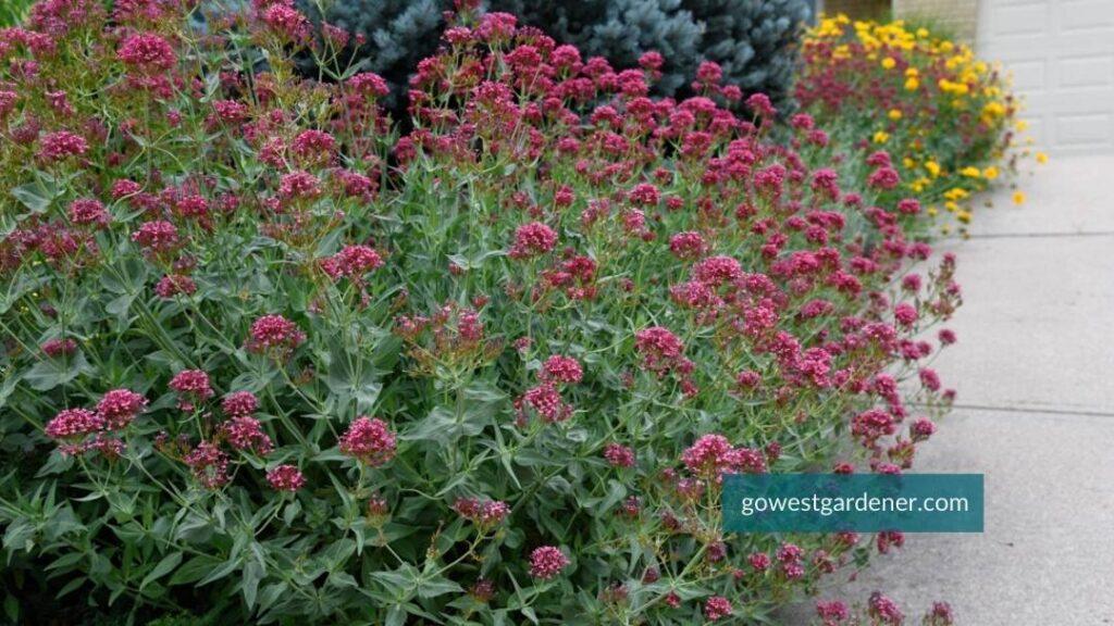 Centranthus ruber 'Red Valerian' (aka, Jupiters Beard) in a western garden