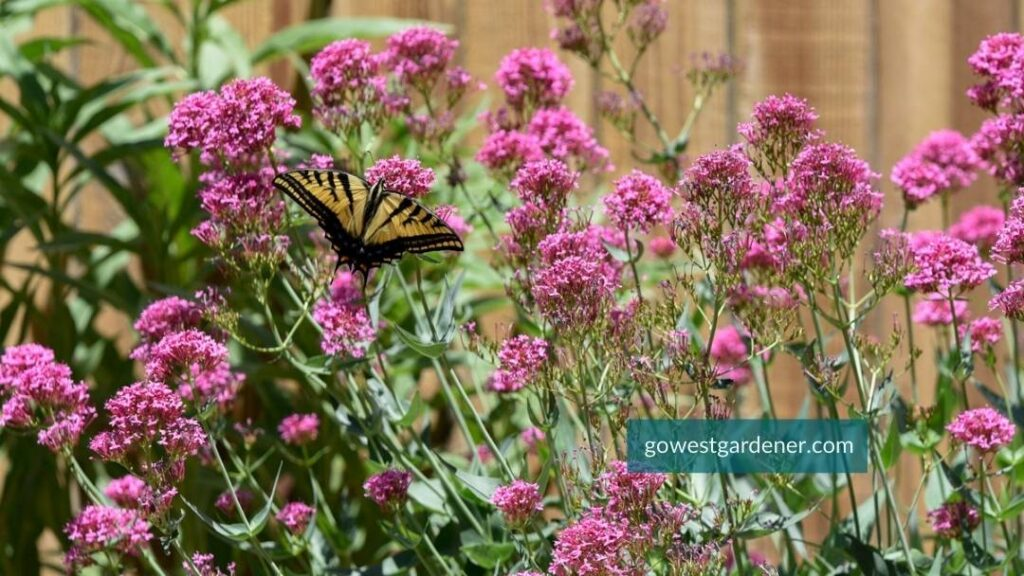 If you want a flower that attracts butterflies, plant Red Valerian (aka, Jupiter's Beard). Here it is with a Swallowtail butterfly.