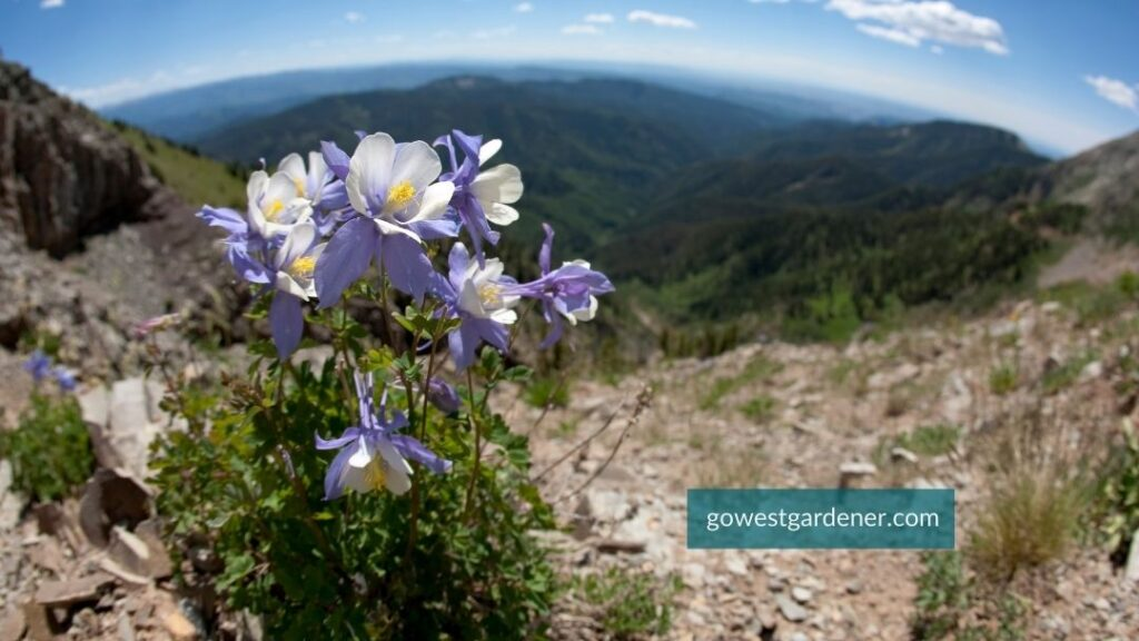Rocky Mountain Columbines bloom on a mountain in Colorado or Utah