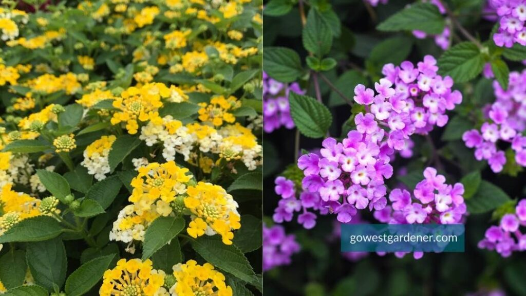 The annual flower Lantana comes in many colors, including yellow and light purple.