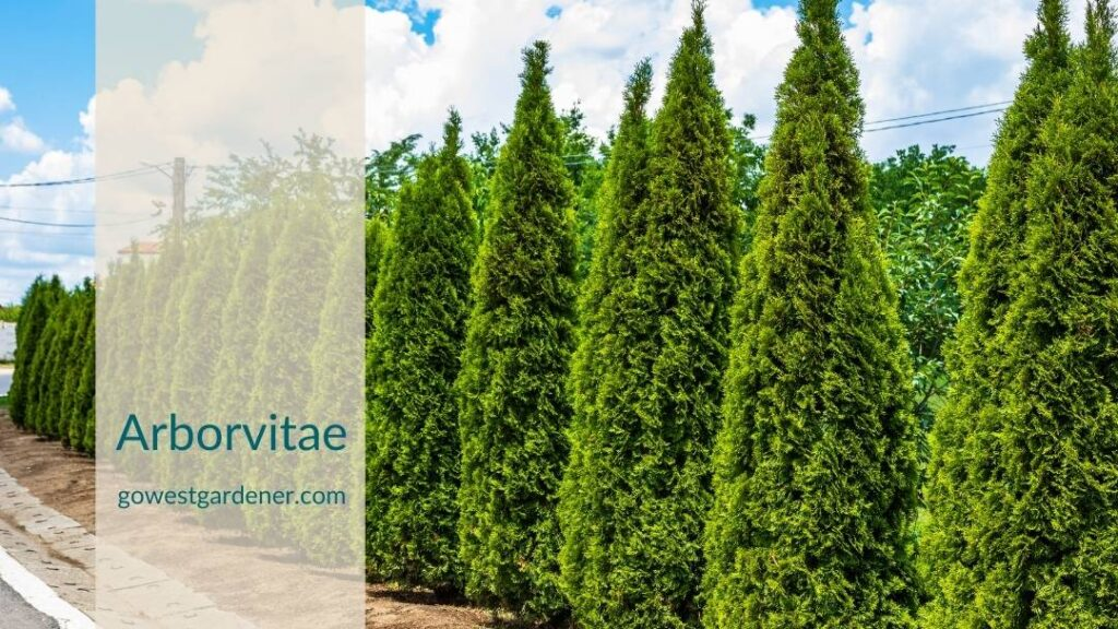 Arborvitaes struggle in our dry western winters and hard freezes.