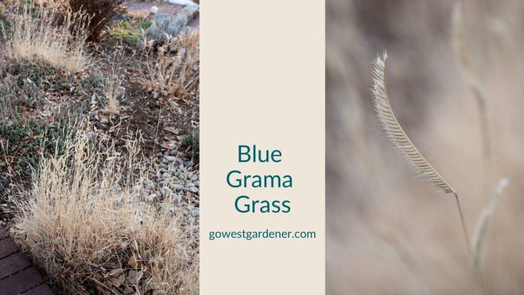 Blue grama grass is a pretty winter grass in Colorado gardens