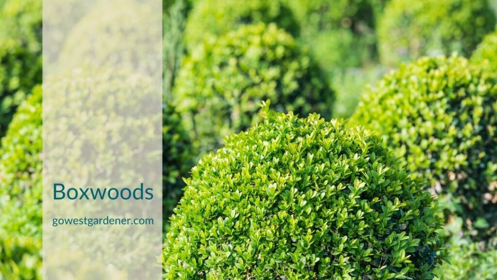 Boxwoods are examples of what not to plant in Colorado because they struggle in our winters.