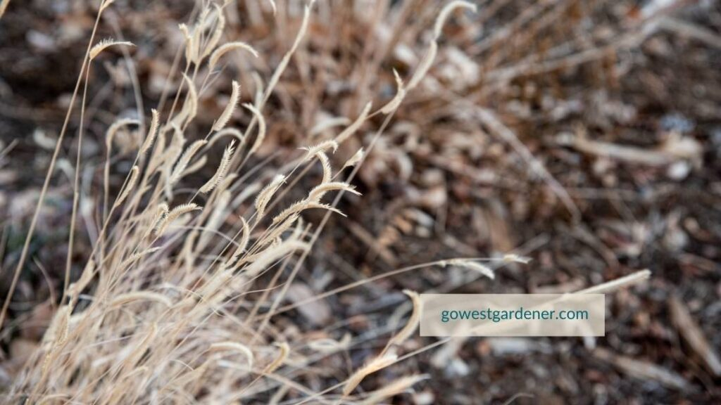 Blue grama grass is a drought tolerant grass with seedheads that look like eyelashes