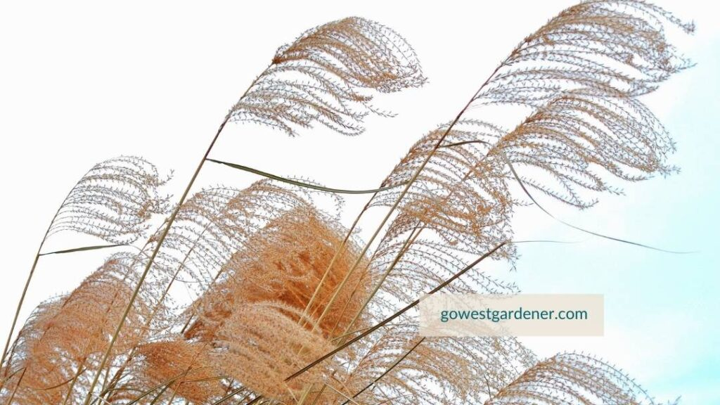 Close-up of maiden grass plumes in winter
