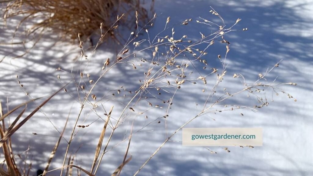 Closeup of switch grass seeds with snow in the background