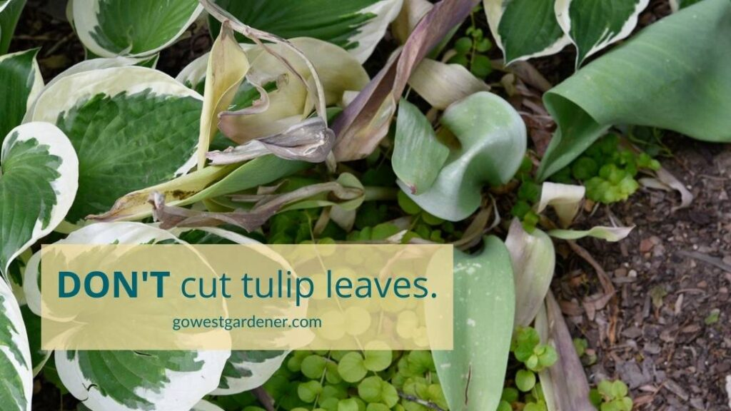 Don't cut off tulip leaves.