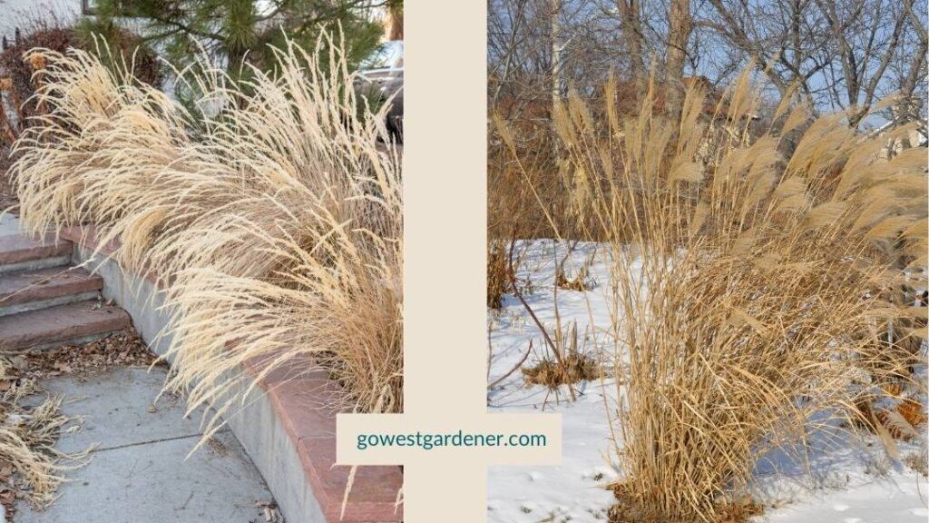 Add winter interest and beauty to your garden with feather reed grass and maiden grass