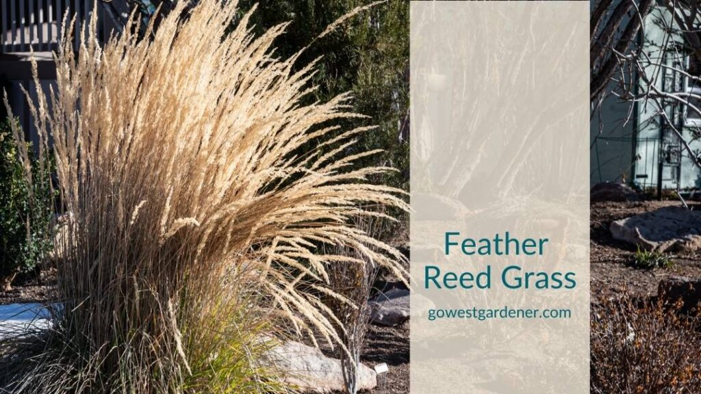 Feather reed grass is a popular ornamental grass that looks good in the winter
