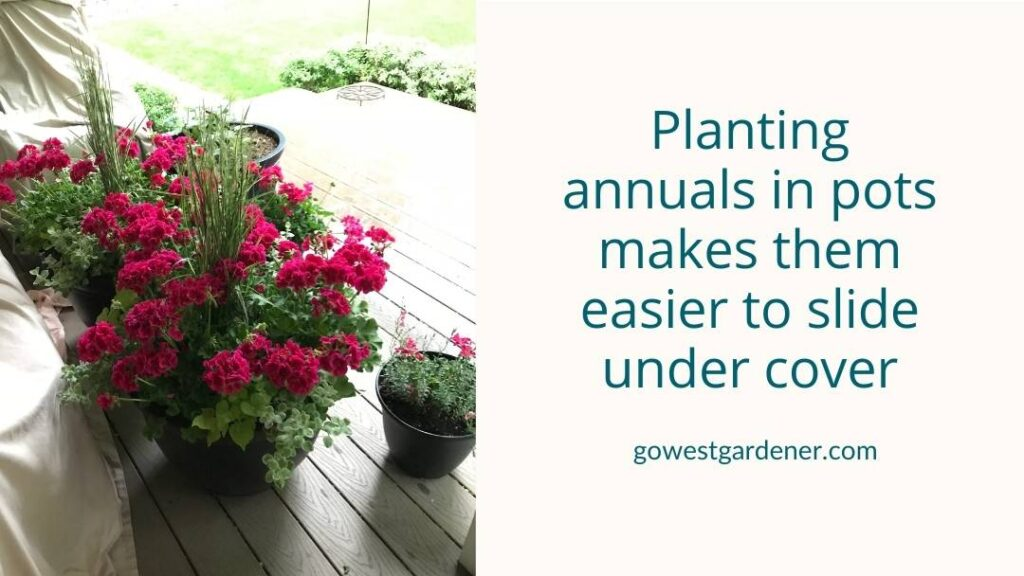 Planting annuals in flowerpots make them easier to pull under cover when hail is coming.