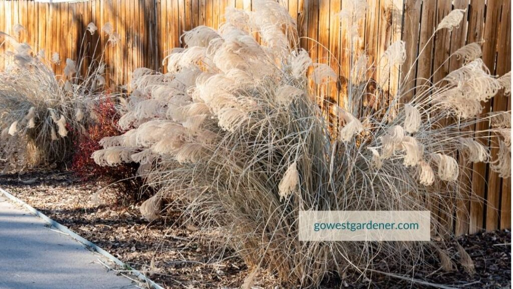 Maiden grass is one of the showiest winter grasses to make your winter garden look good