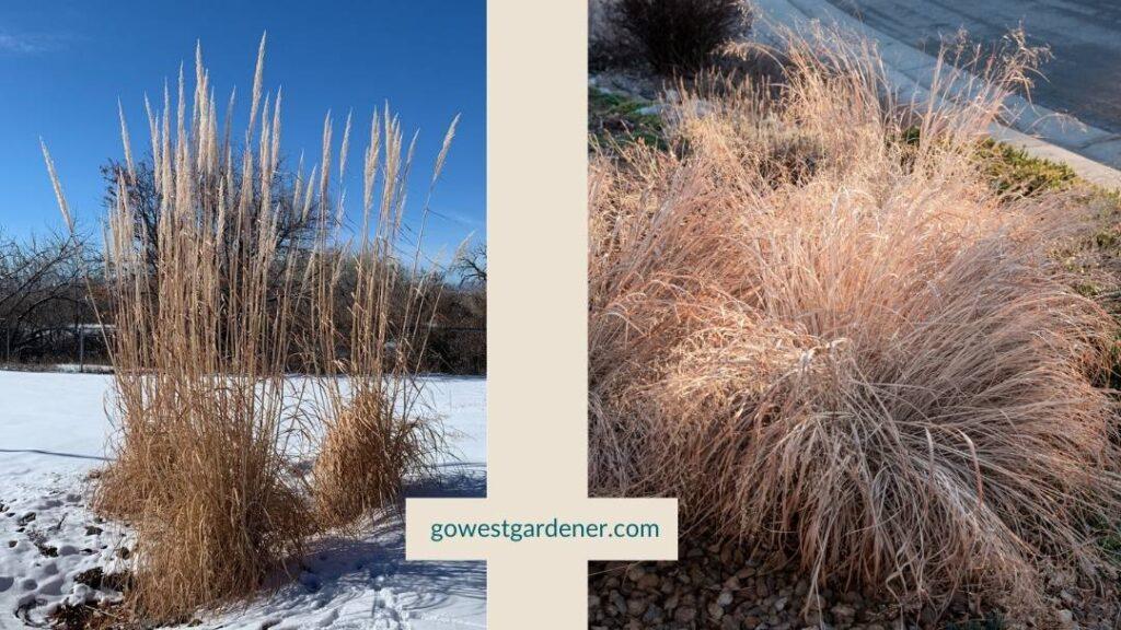 Hardy pampas grass and maiden grass can make a winter garden look better