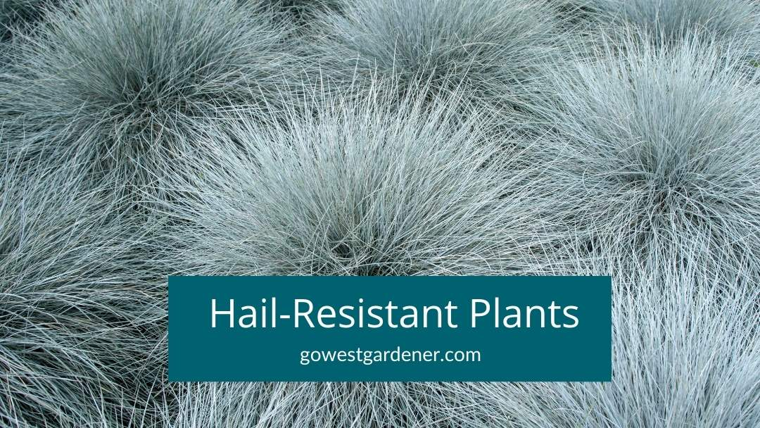 Do some plants do better in hail than others? Yes! Here are examples of hail resistant plants.