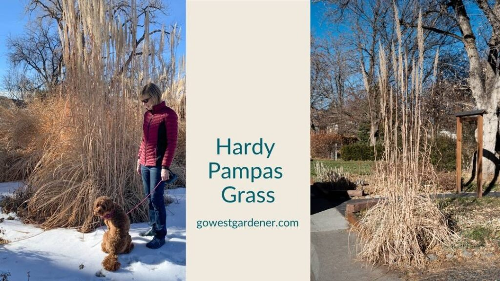 Hardy pampas grass towers in winter gardens, adding height and winter interest