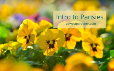 Pansies: A Colorful Flower for Your Spring Flowerpots
