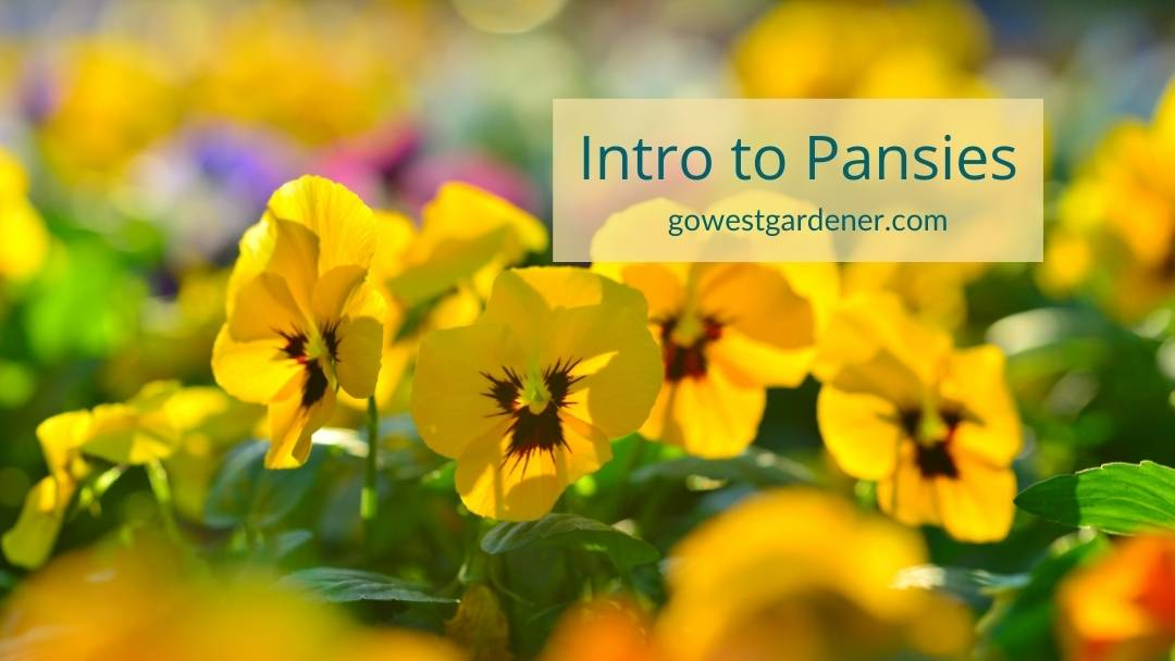 An introduction to pansies: An early spring flower in Colorado that offers bright color