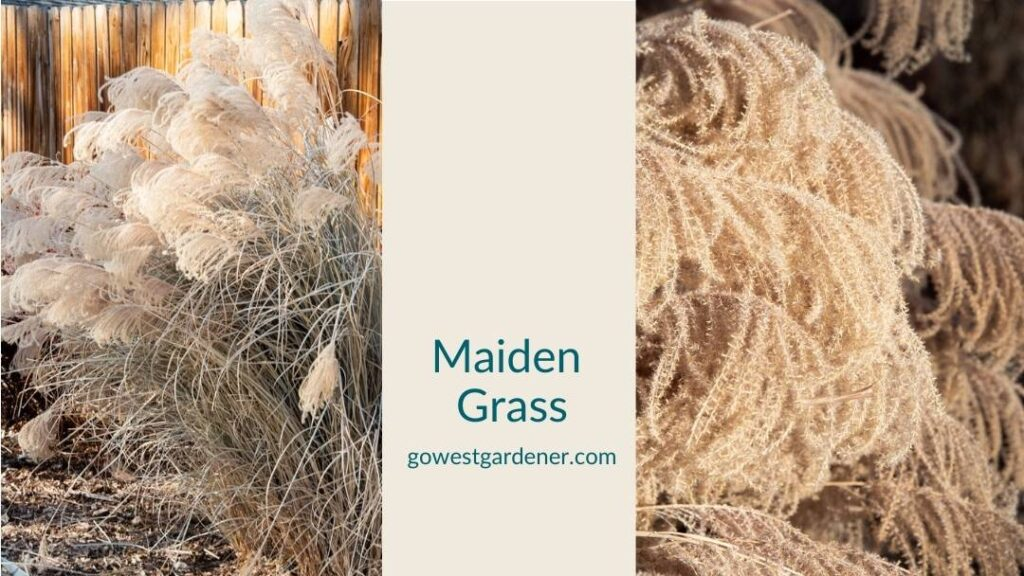 Maiden grass is a showy ornamental grass in winter
