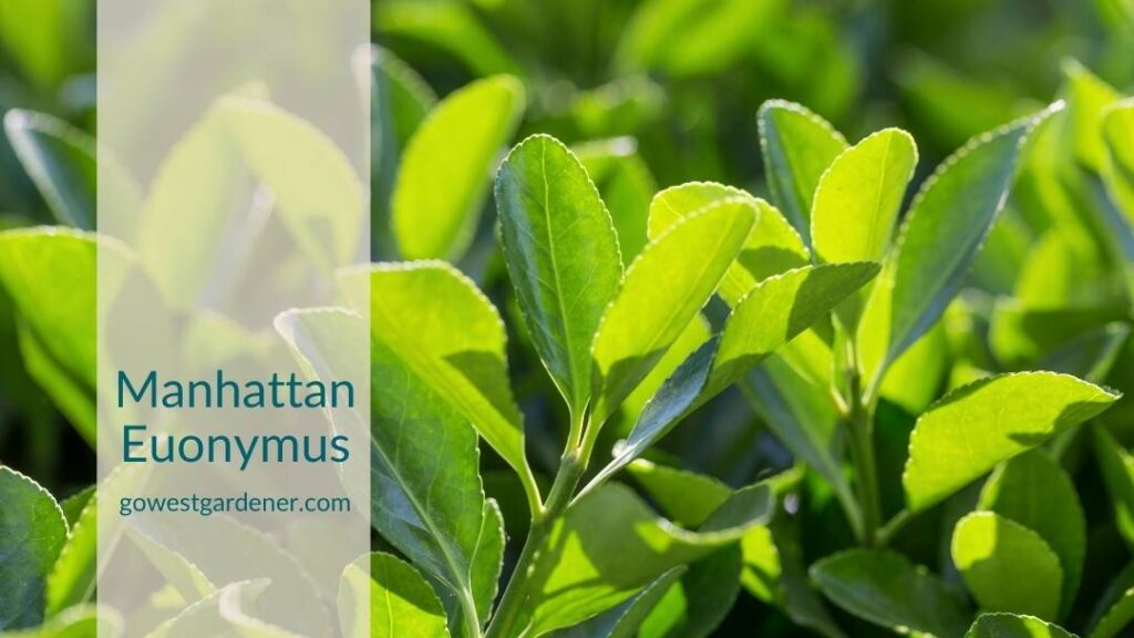 Manhattan euonymus can get winter burn, making them plants to avoid in Colorado.