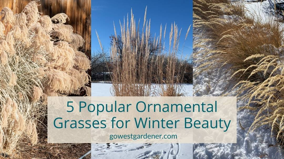 5 popular ornamental grasses for winter interest and beauty