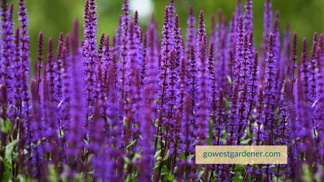 Salvia is an example of a plant that does better in hail than others