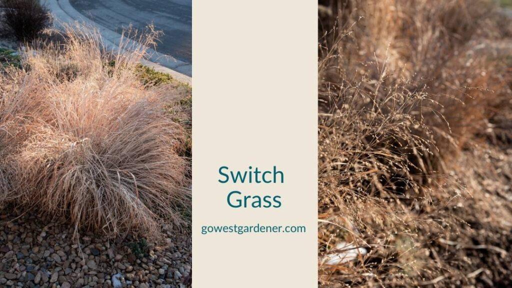 Switch grass in the winter, creating interest in a western garden