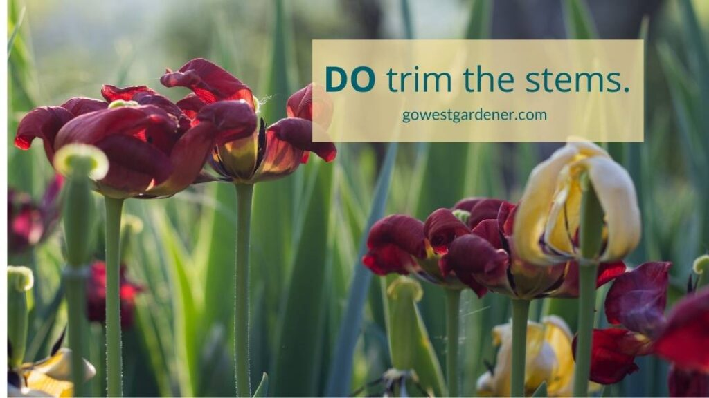 DO trim the flower stems on tulips after they're done blooming