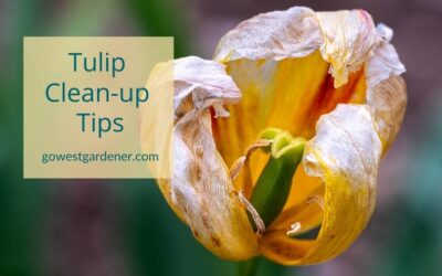 """""""What Do I Do With Tulips After They've Flowered?"""""""