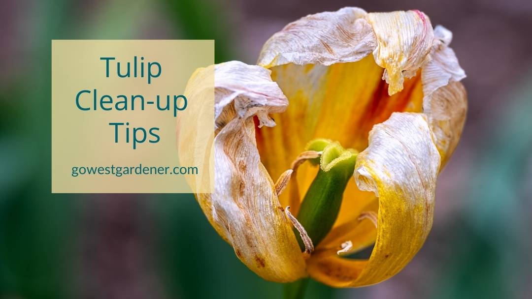 Tulip cleanup tips: What to do with tulips after they're done blooming
