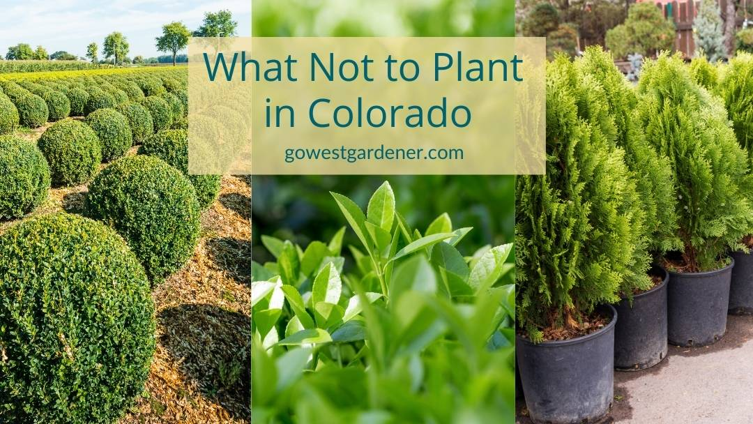 What not to plant in Colorado: 3 trees and shrubs that struggle in Colorado winters