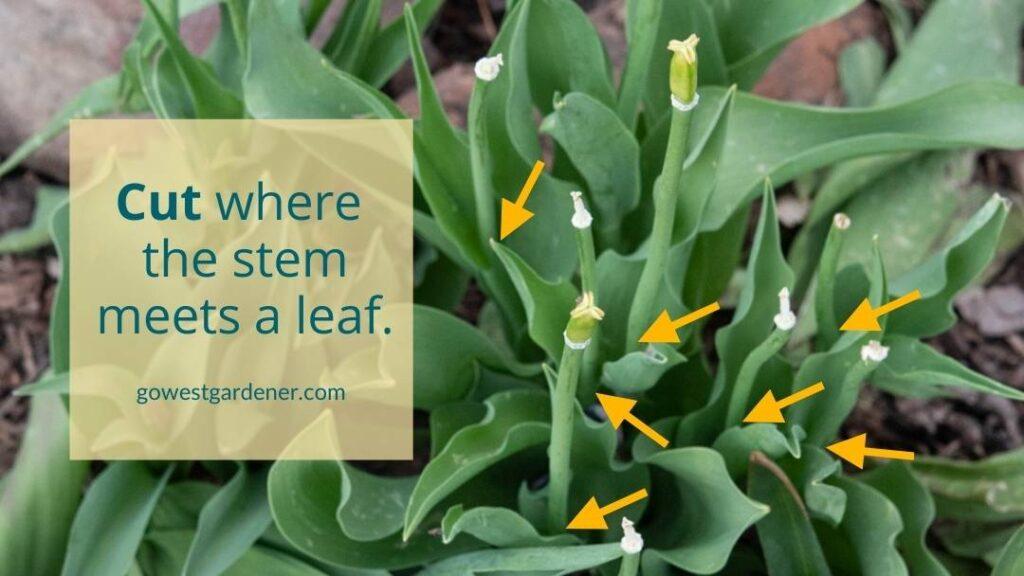 Where to trim stems on spent tulip flowers