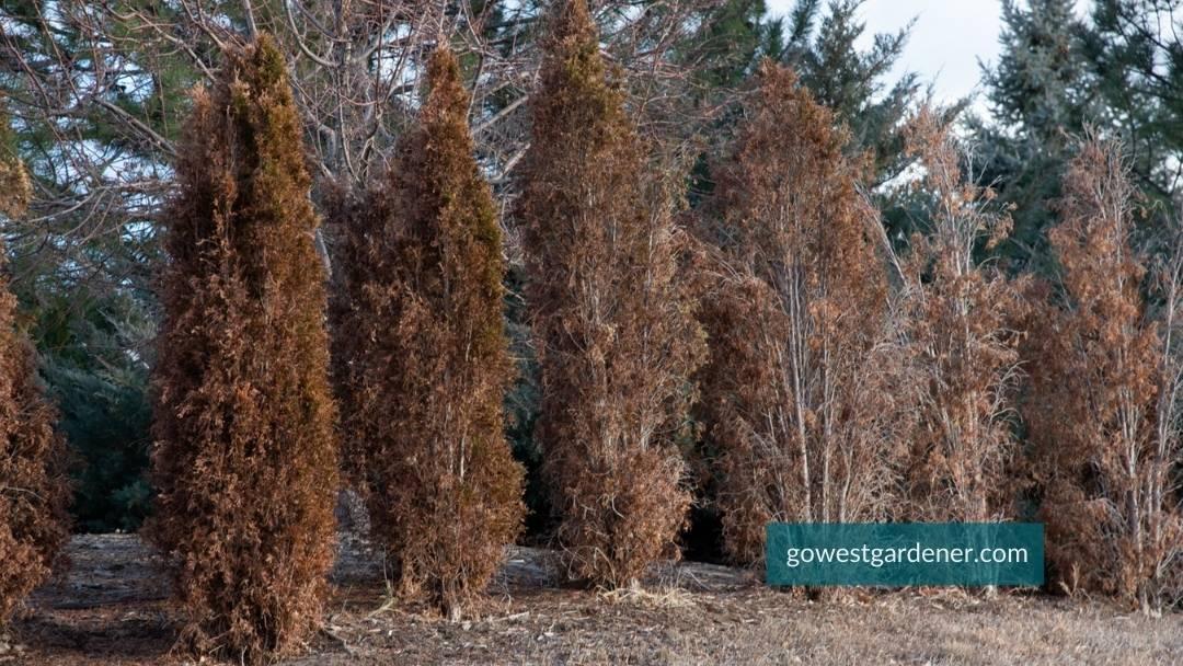 Row of brown arborvitae trees with winter burn