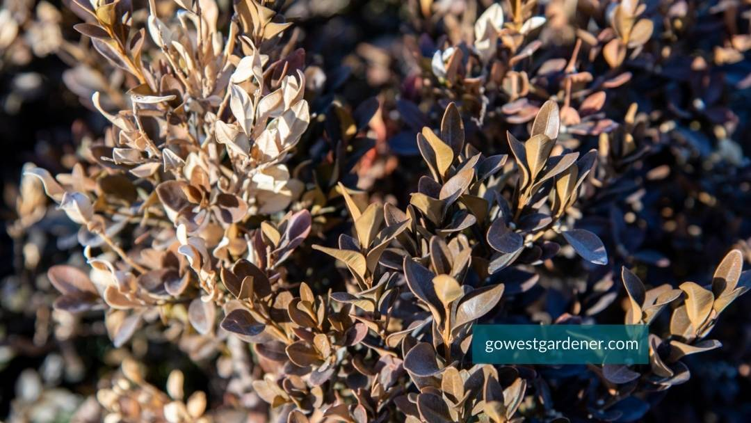 Western-facing boxwoods turning a brown color from winter burn.