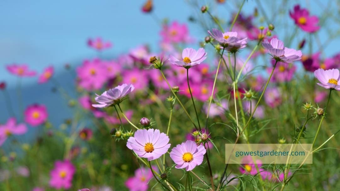 Colorful pink cosmos flowers that have been grown from seed