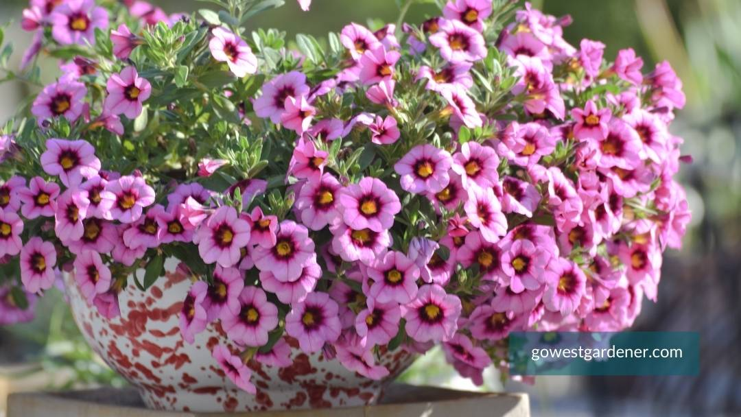 Small flower pot with colorful, pink calibrachoa
