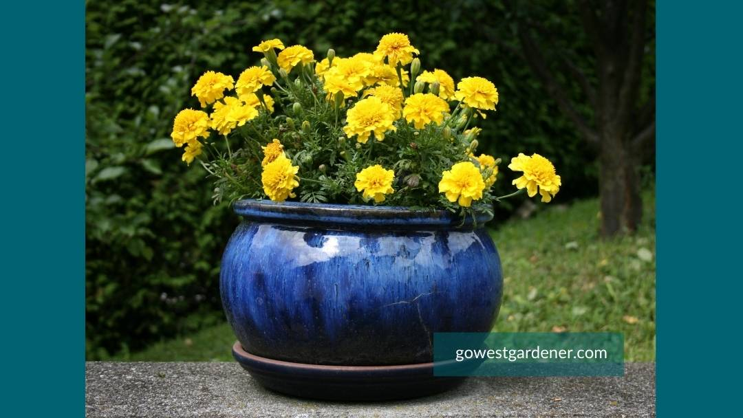 A small flower pot in blue with yellow marigolds