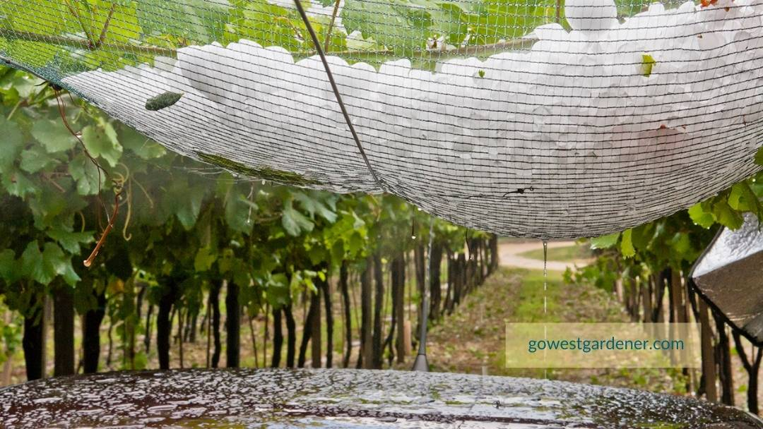 Hail netting collects hail and protects plants
