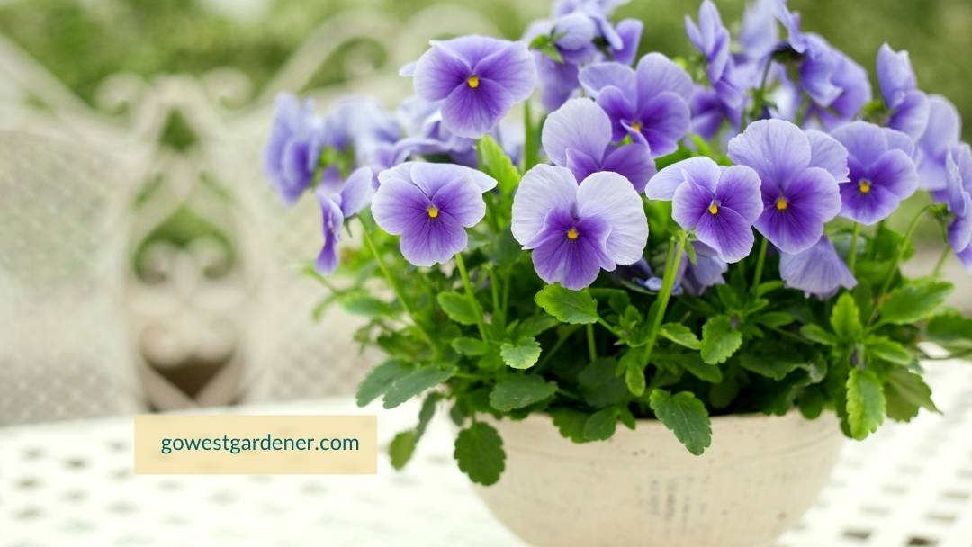 Want flowers you can plant in March? These purple pansies are a great addition to your spring flowerpots.